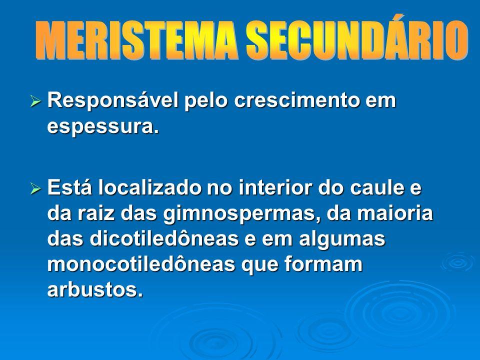 MERISTEMA SECUNDÁRIO Responsável pelo crescimento em espessura.