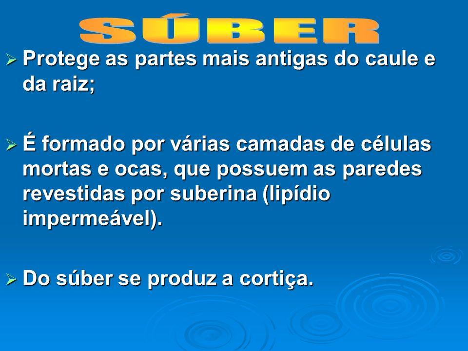 SÚBER Protege as partes mais antigas do caule e da raiz;