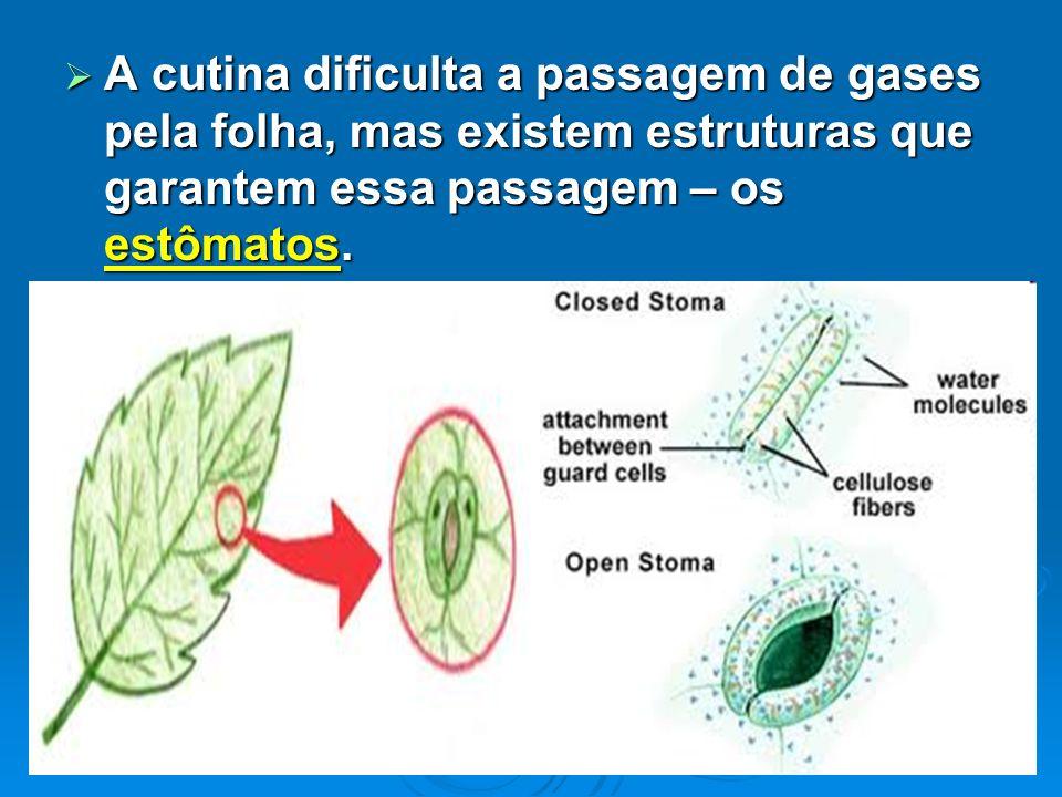 A cutina dificulta a passagem de gases pela folha, mas existem estruturas que garantem essa passagem – os estômatos.