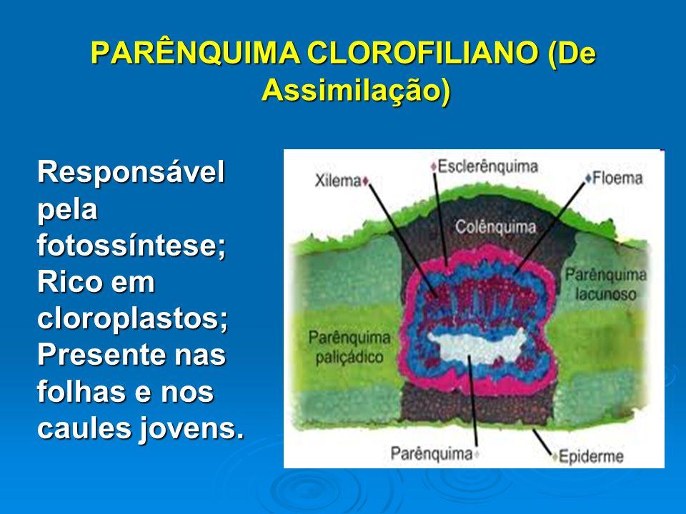 PARÊNQUIMA CLOROFILIANO (De Assimilação)