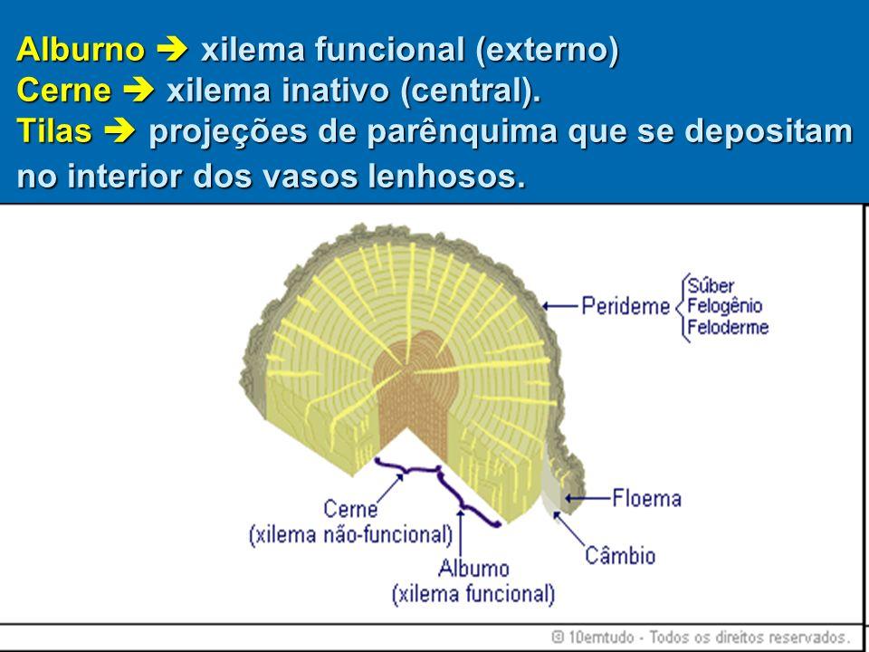Alburno  xilema funcional (externo) Cerne  xilema inativo (central)