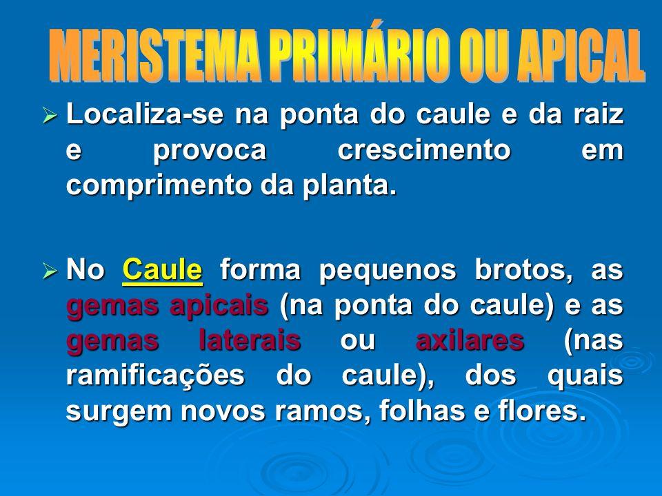 MERISTEMA PRIMÁRIO OU APICAL
