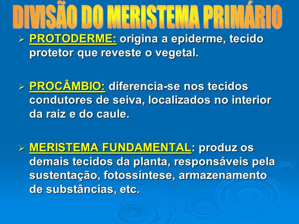 DIVISÃO DO MERISTEMA PRIMÁRIO
