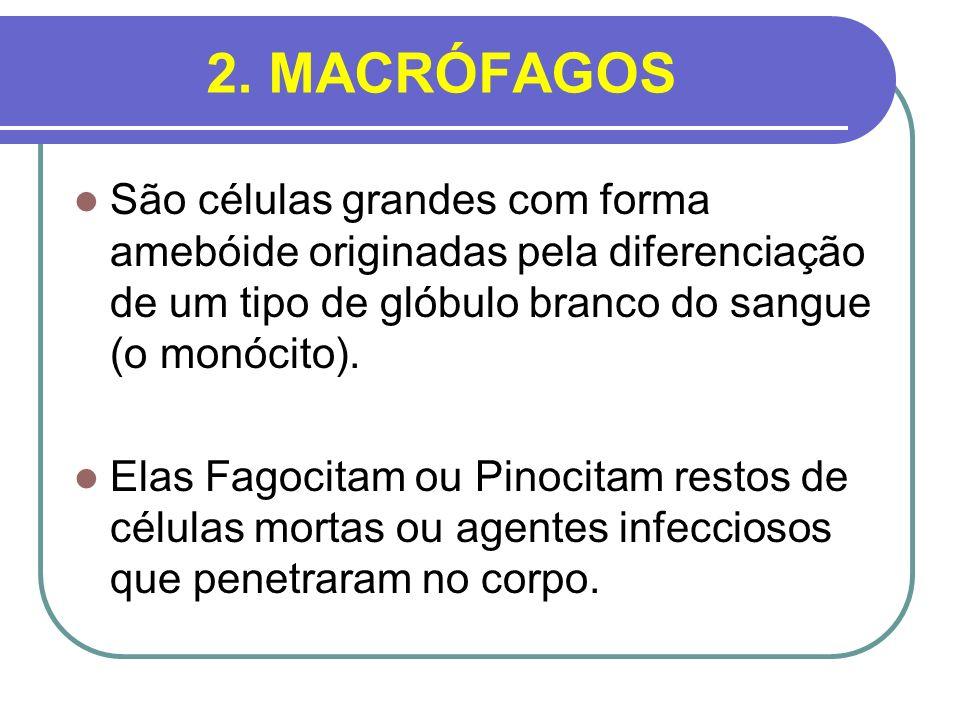 2. MACRÓFAGOS São células grandes com forma amebóide originadas pela diferenciação de um tipo de glóbulo branco do sangue (o monócito).