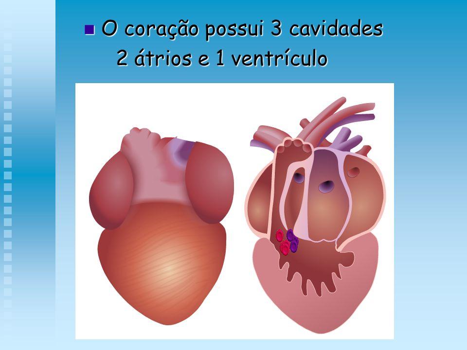 O coração possui 3 cavidades