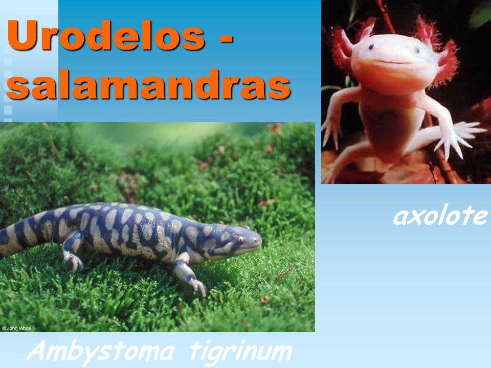Urodelos - salamandras