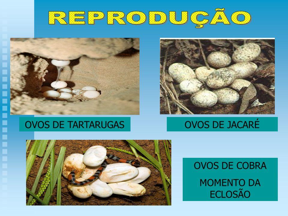 REPRODUÇÃO OVOS DE TARTARUGAS OVOS DE JACARÉ OVOS DE COBRA