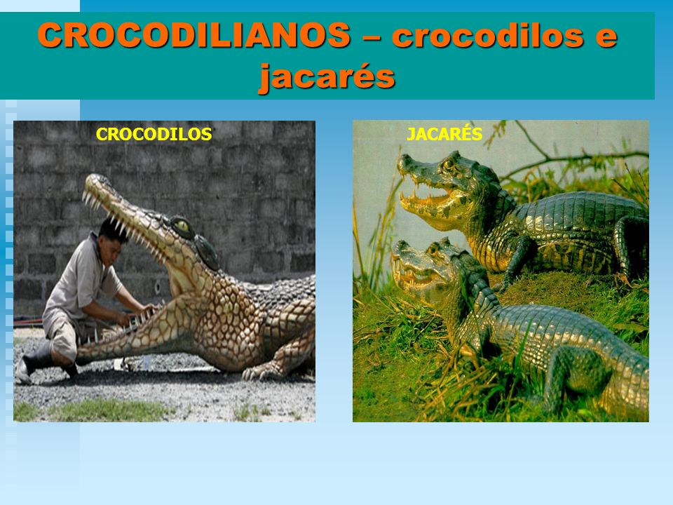 CROCODILIANOS – crocodilos e jacarés
