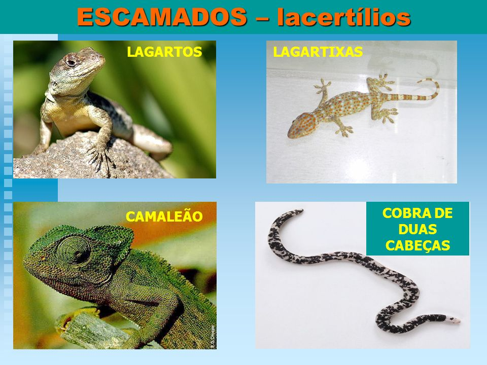 ESCAMADOS – lacertílios