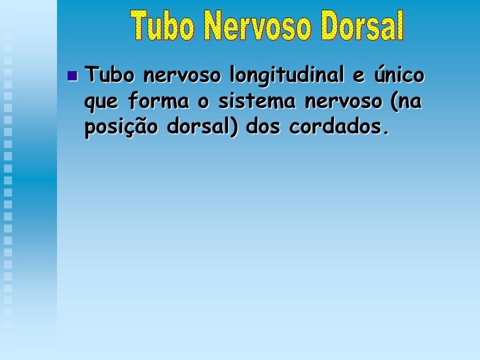 Tubo Nervoso Dorsal Tubo nervoso longitudinal e único que forma o sistema nervoso (na posição dorsal) dos cordados.