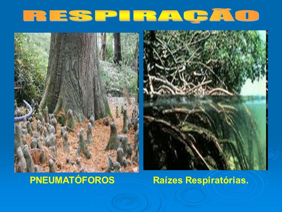 RESPIRAÇÃO PNEUMATÓFOROS Raízes Respiratórias.