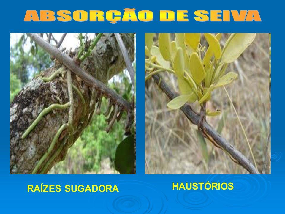 ABSORÇÃO DE SEIVA HAUSTÓRIOS RAÍZES SUGADORA
