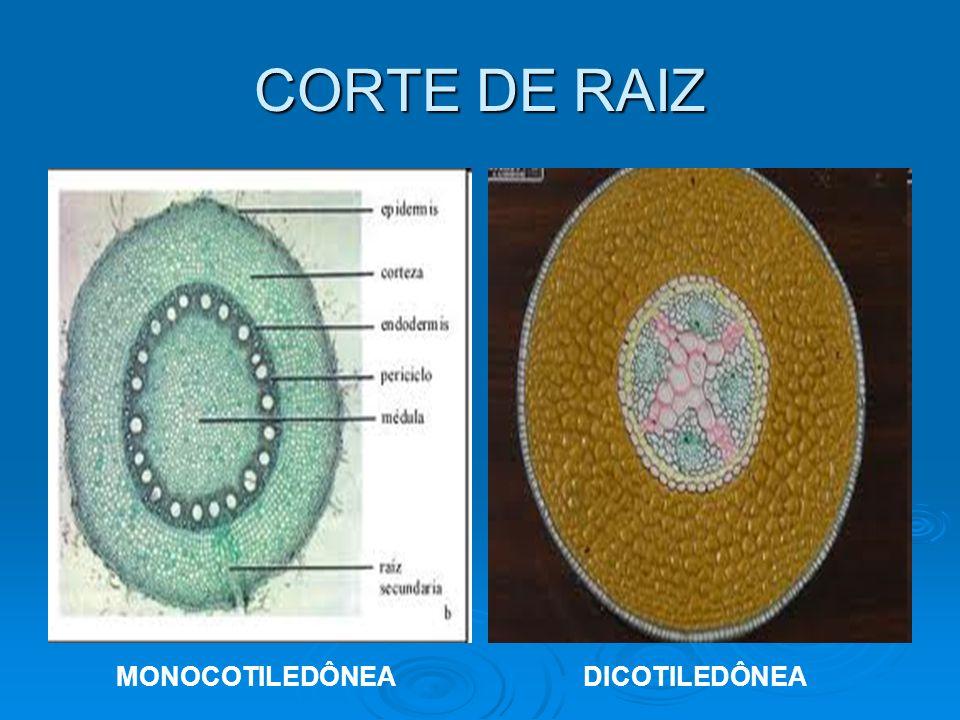 CORTE DE RAIZ MONOCOTILEDÔNEA DICOTILEDÔNEA
