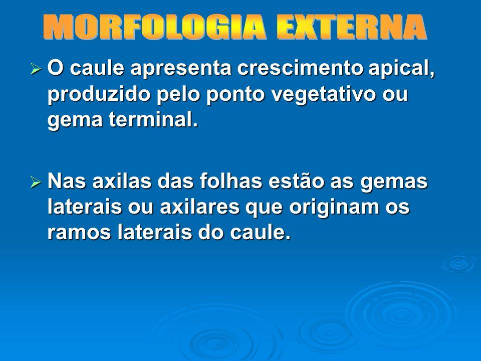 MORFOLOGIA EXTERNAO caule apresenta crescimento apical, produzido pelo ponto vegetativo ou gema terminal.