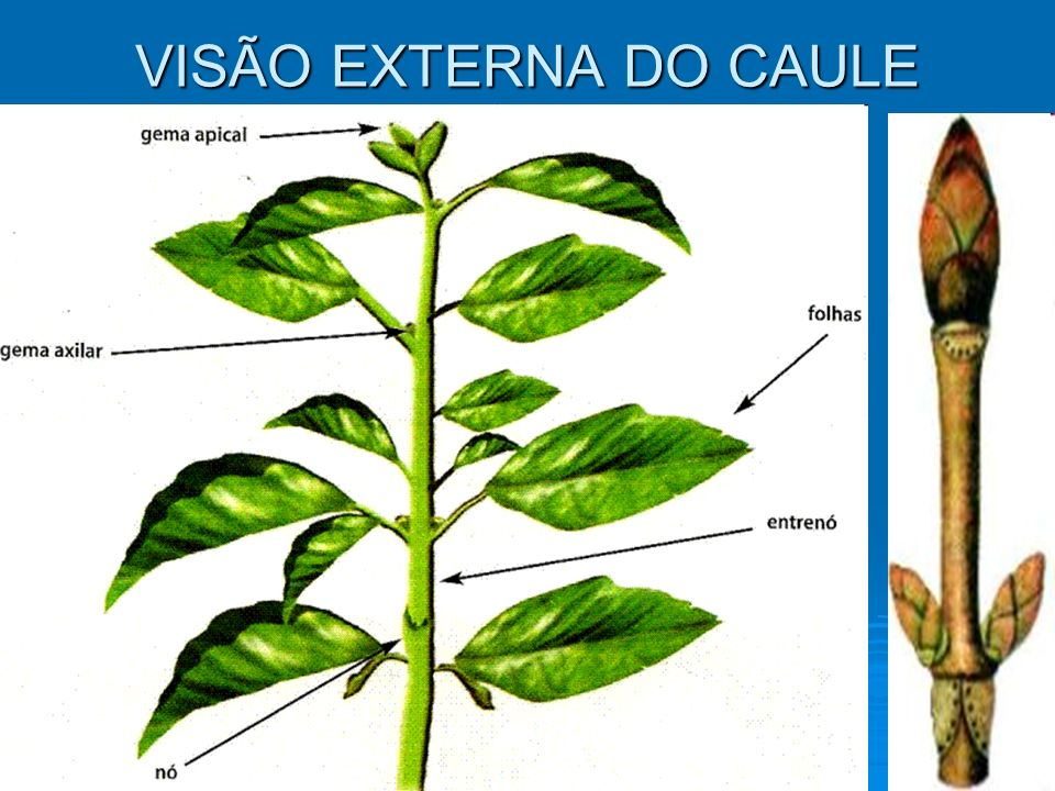 VISÃO EXTERNA DO CAULE