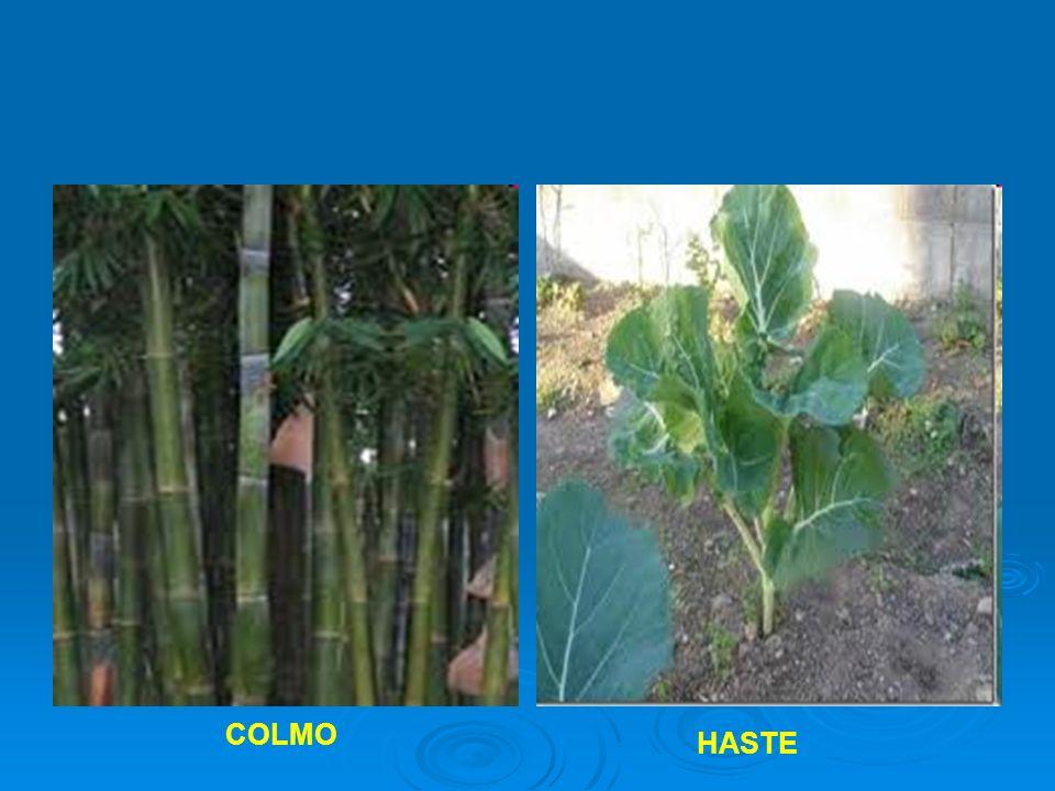 COLMO HASTE