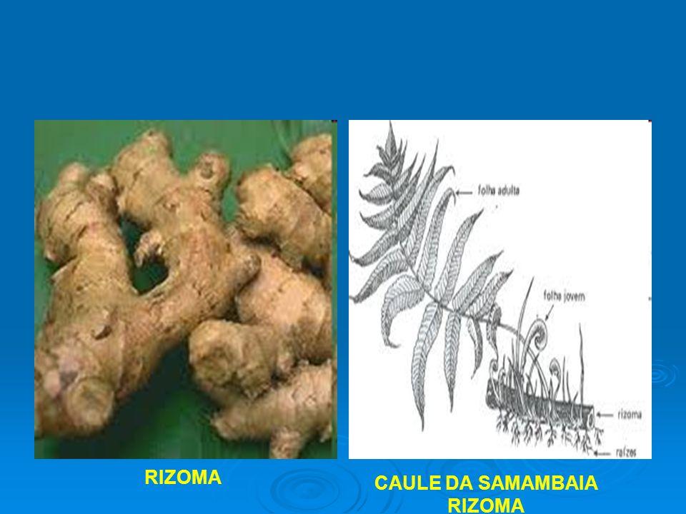 CAULE DA SAMAMBAIA RIZOMA