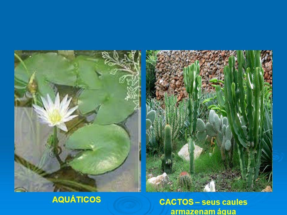 CACTOS – seus caules armazenam água