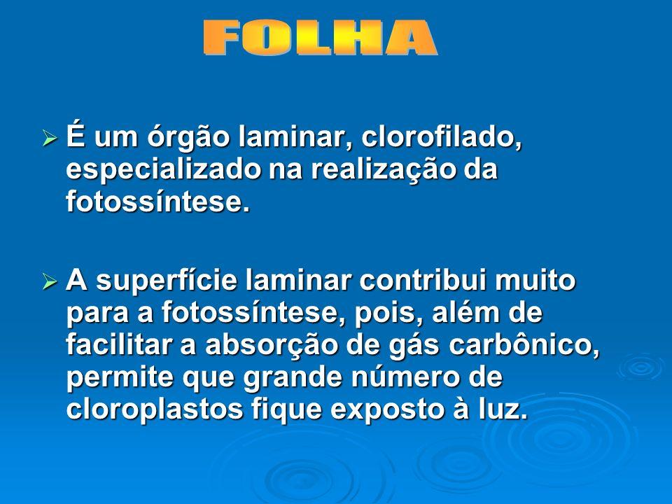 FOLHA É um órgão laminar, clorofilado, especializado na realização da fotossíntese.
