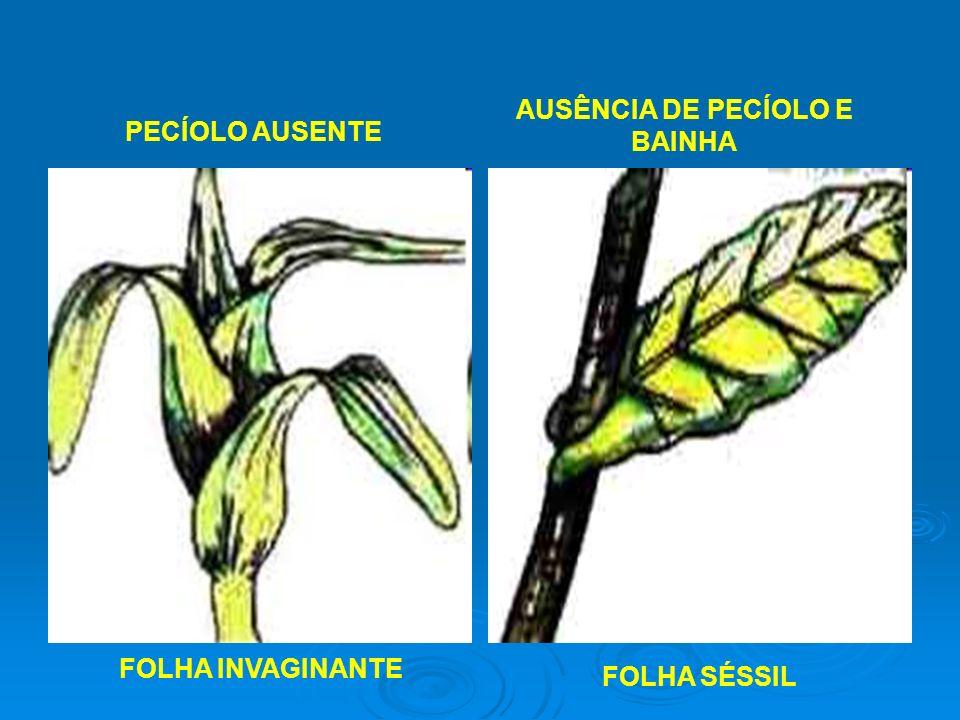 AUSÊNCIA DE PECÍOLO E BAINHA