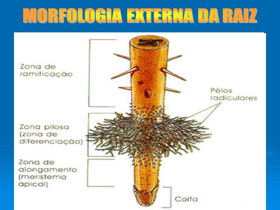 MORFOLOGIA EXTERNA DA RAIZ