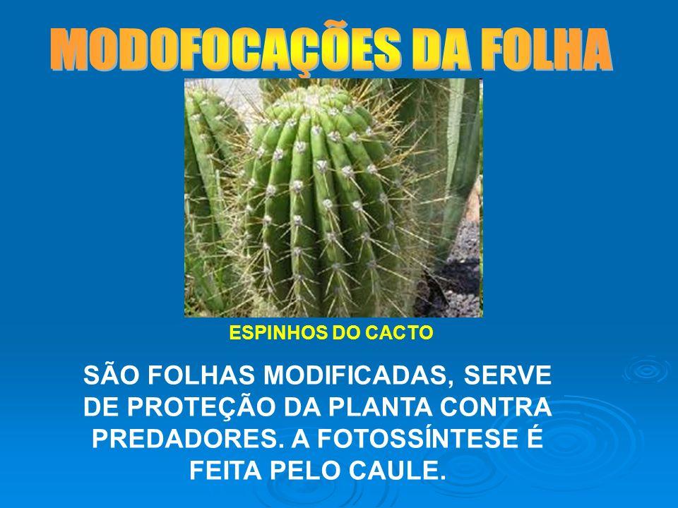 MODOFOCAÇÕES DA FOLHA ESPINHOS DO CACTO.