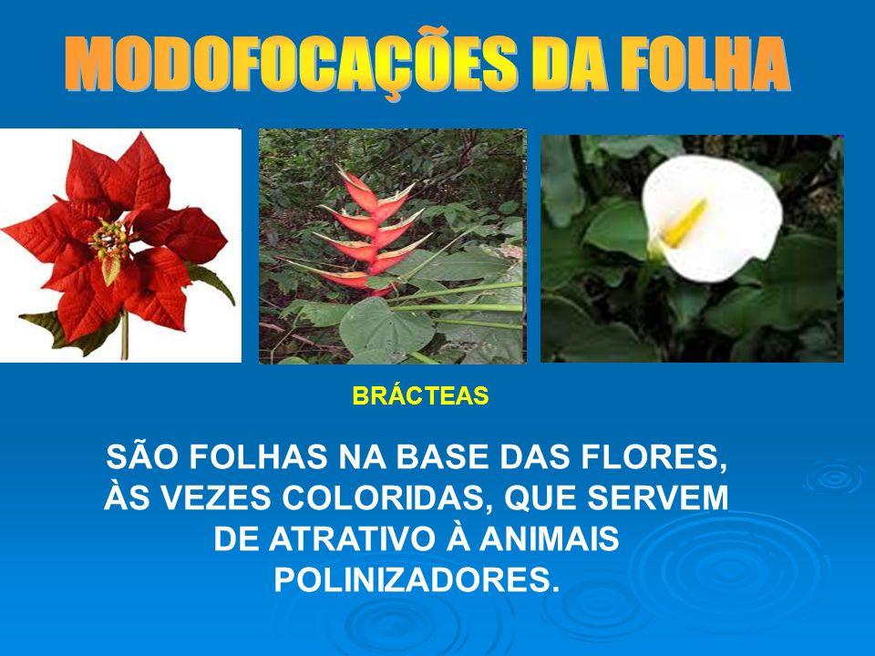 MODOFOCAÇÕES DA FOLHA BRÁCTEAS.