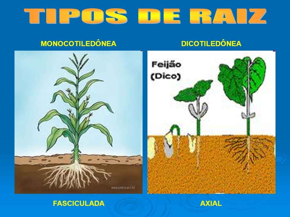TIPOS DE RAIZ MONOCOTILEDÔNEA DICOTILEDÔNEA FASCICULADA AXIAL