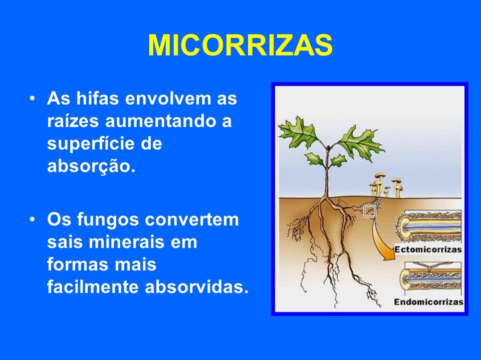 MICORRIZASAs hifas envolvem as raízes aumentando a superfície de absorção.