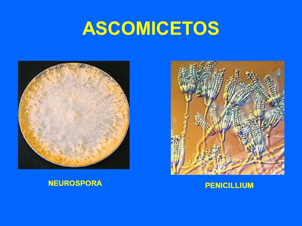 ASCOMICETOS NEUROSPORA PENICILLIUM