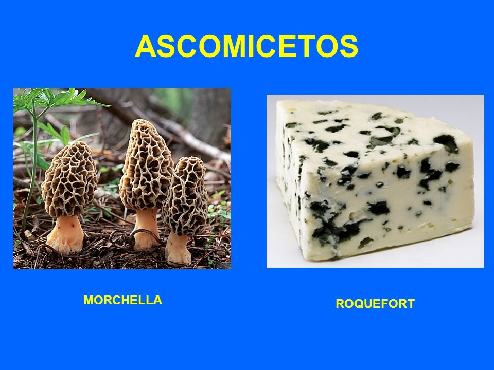 ASCOMICETOS MORCHELLA ROQUEFORT