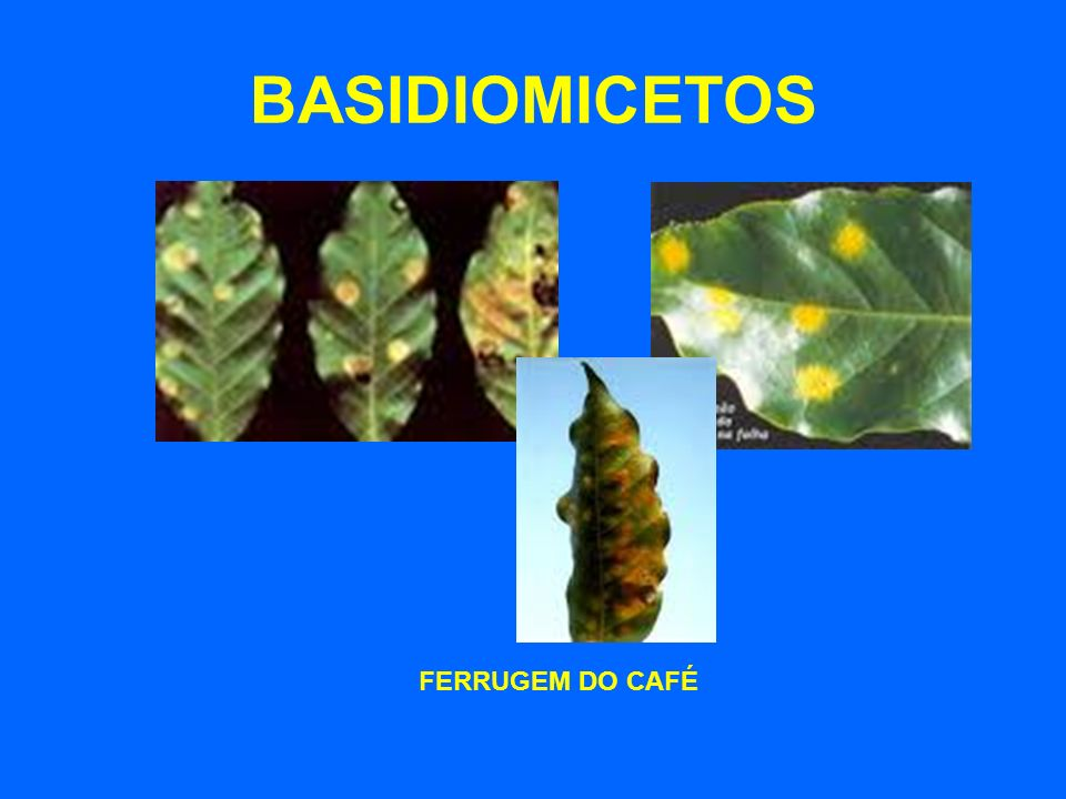 BASIDIOMICETOS FERRUGEM DO CAFÉ