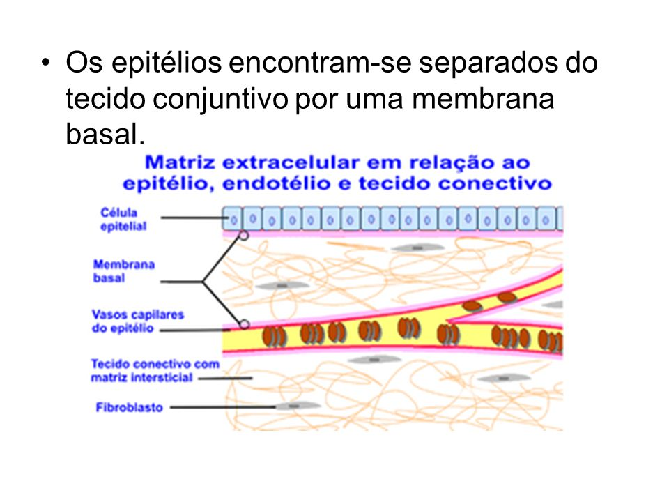 Os epitélios encontram-se separados do tecido conjuntivo por uma membrana basal.