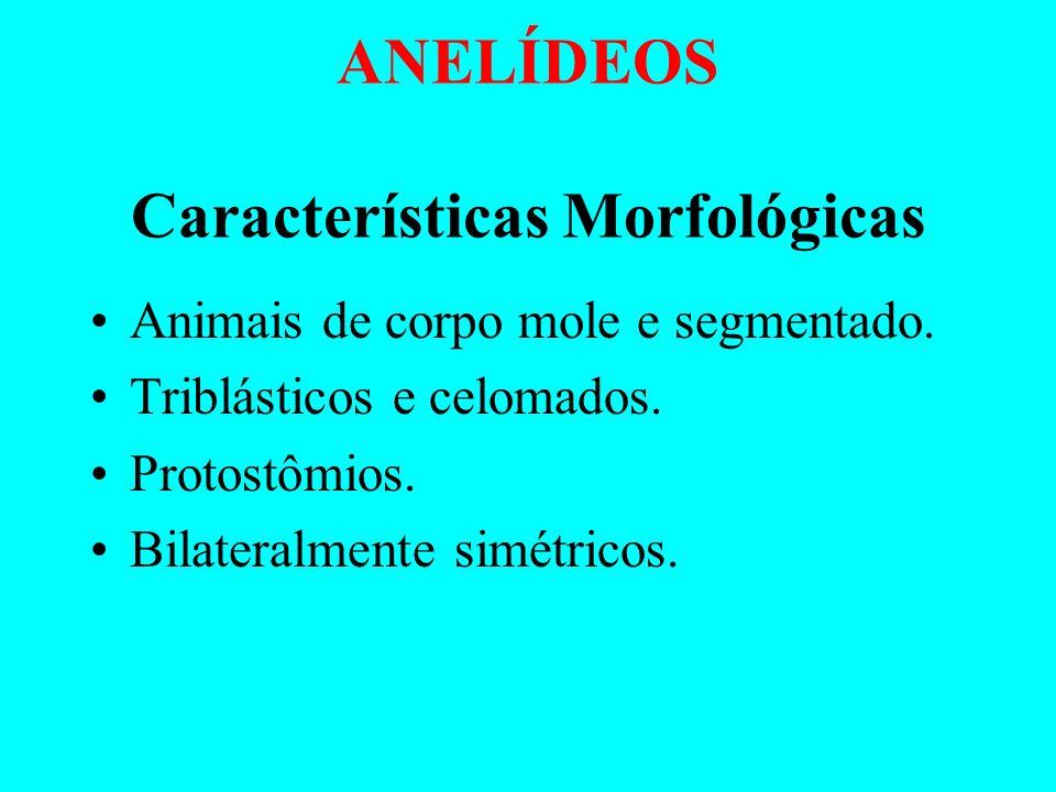 ANELÍDEOS Características Morfológicas