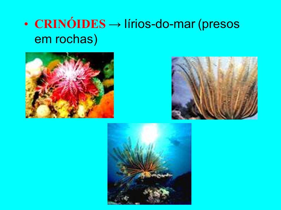 CRINÓIDES → lírios-do-mar (presos em rochas)