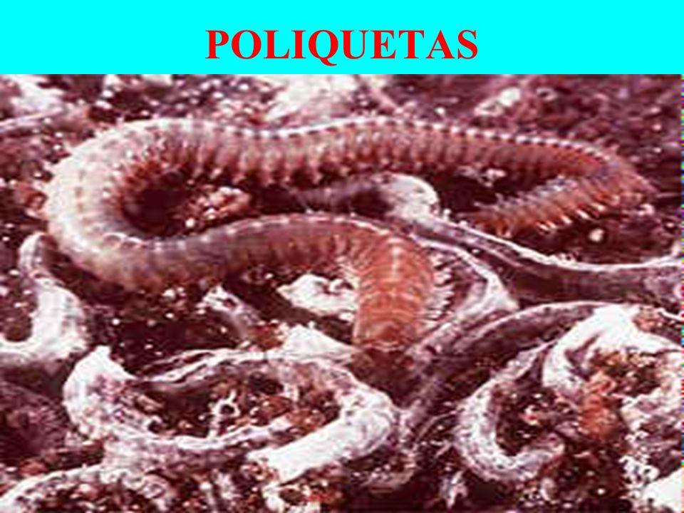 POLIQUETAS