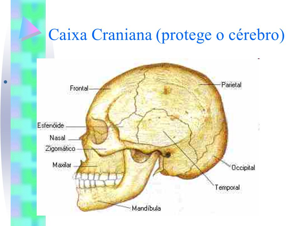 Caixa Craniana (protege o cérebro)