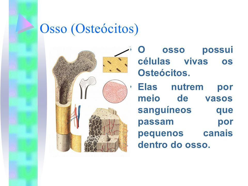 Osso (Osteócitos) O osso possui células vivas os Osteócitos.