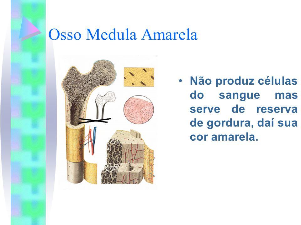 Osso Medula Amarela Não produz células do sangue mas serve de reserva de gordura, daí sua cor amarela.
