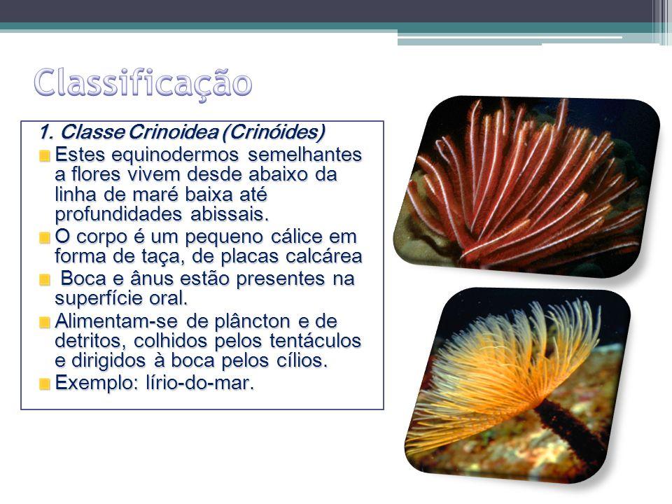 Classificação 1. Classe Crinoidea (Crinóides)