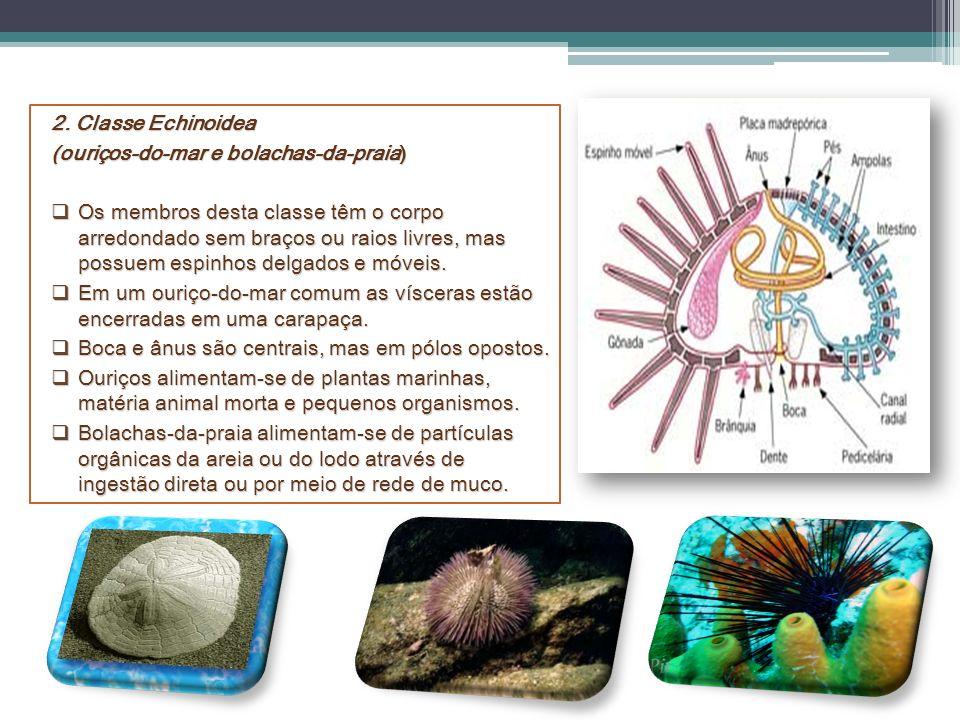 2. Classe Echinoidea (ouriços-do-mar e bolachas-da-praia)