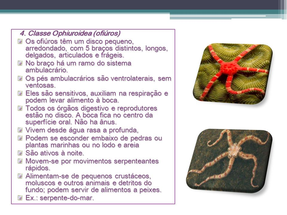 4. Classe Ophiuroidea (ofiúros)