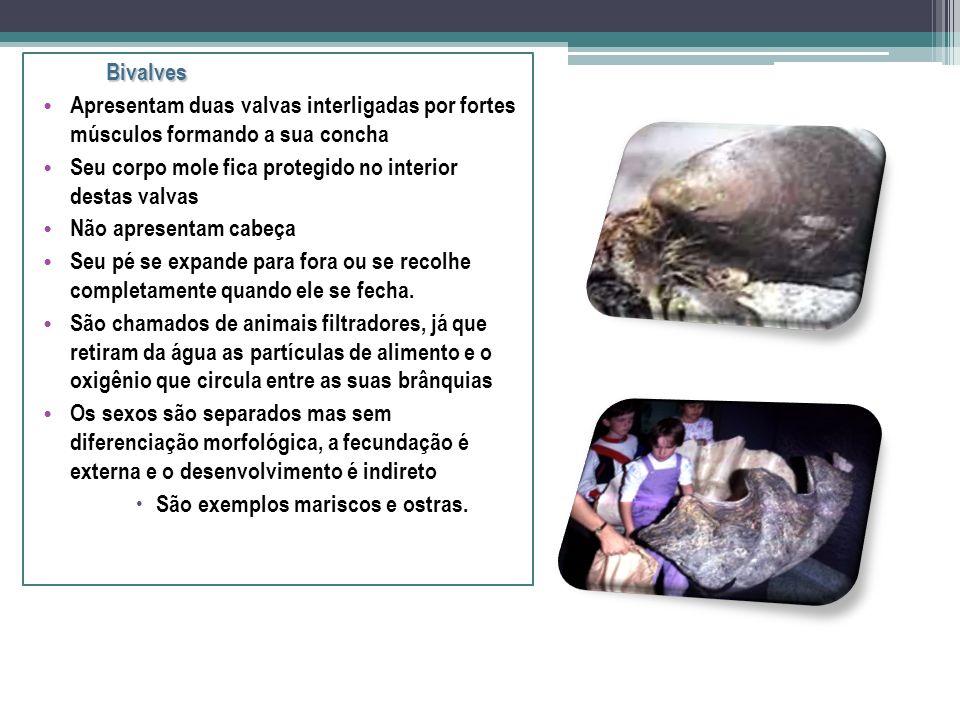Bivalves Apresentam duas valvas interligadas por fortes músculos formando a sua concha. Seu corpo mole fica protegido no interior destas valvas.