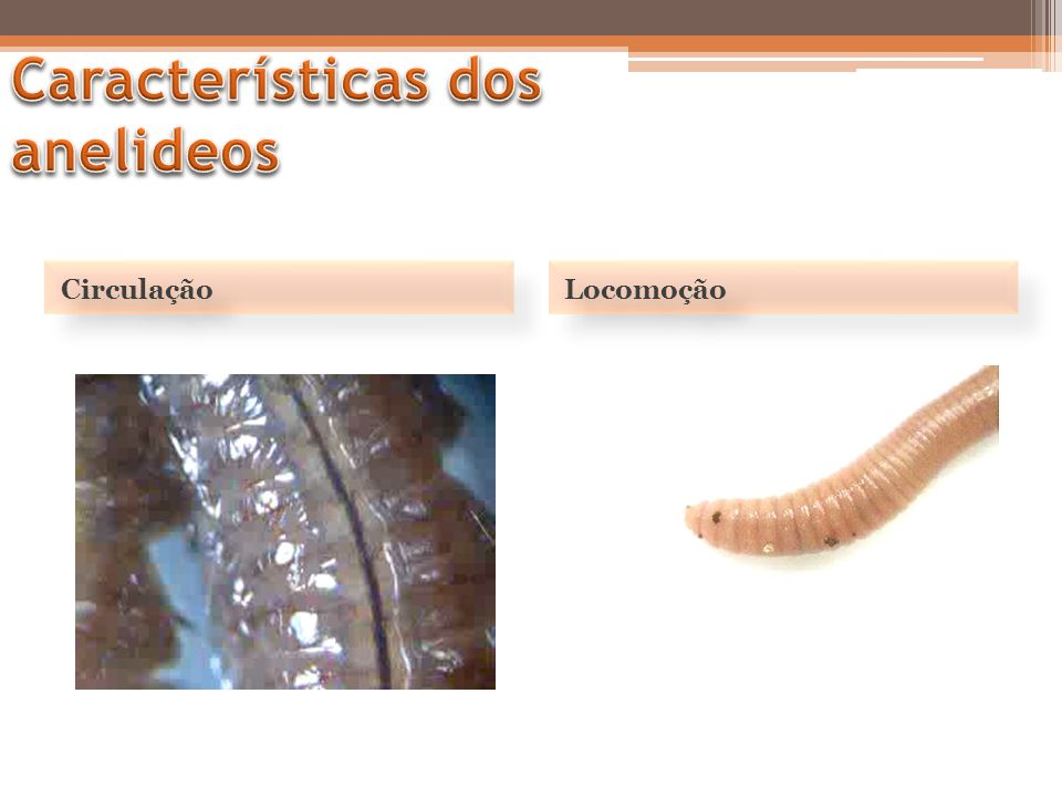 Características dos anelideos