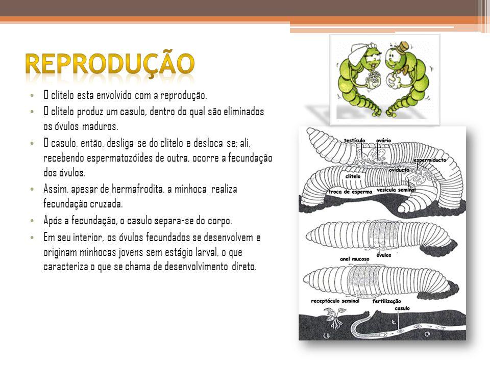 reprodução O clitelo esta envolvido com a reprodução.