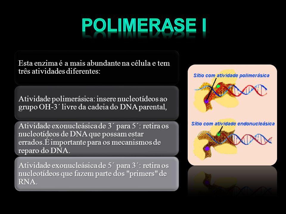 Polimerase I Esta enzima é a mais abundante na célula e tem três atividades diferentes: