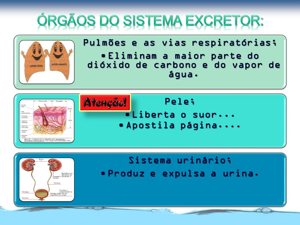 Órgãos do Sistema Excretor: