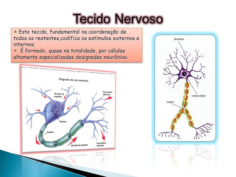 Tecido NervosoEste tecido, fundamental na coordenação de todos os restantes,codifica os estímulos externos e internos;