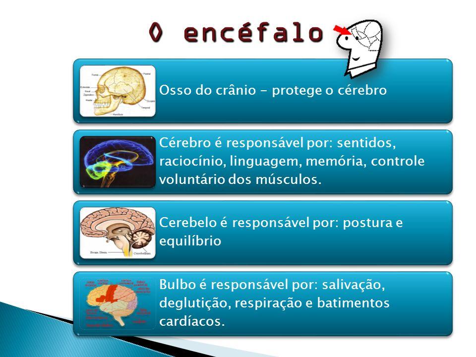 O encéfalo Osso do crânio - protege o cérebro