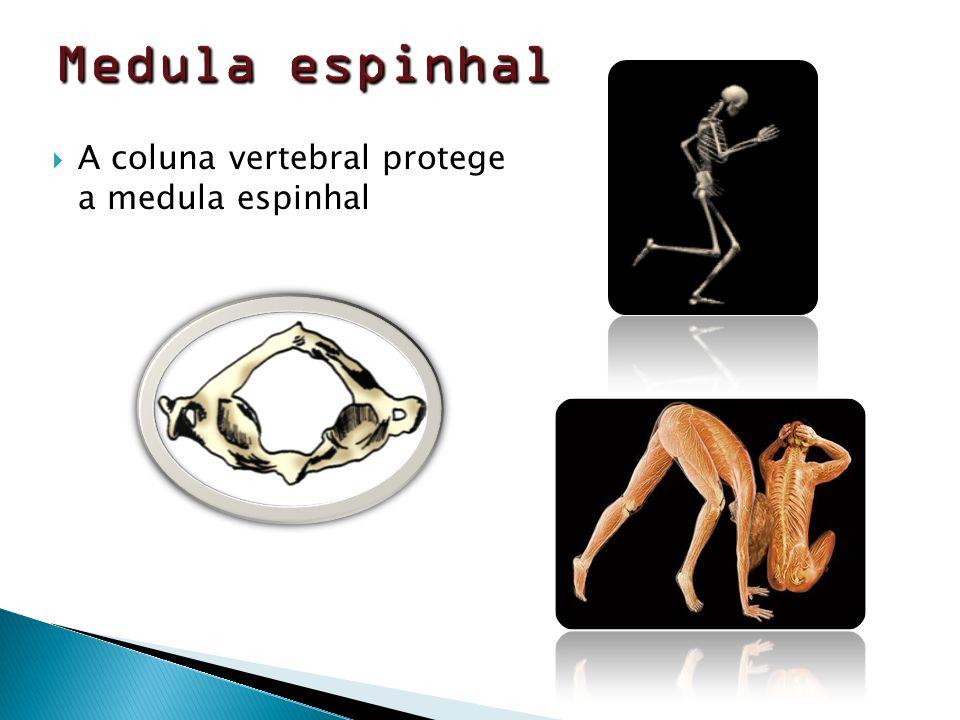 Medula espinhal A coluna vertebral protege a medula espinhal